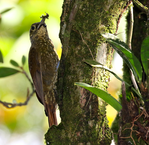 Woodcreeper, Spotted - 20161006a