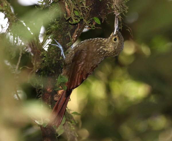 Woodcreeper, Spotted - 20161006c