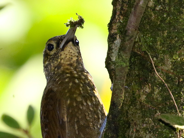 Woodcreeper, Spotted - 20161006d