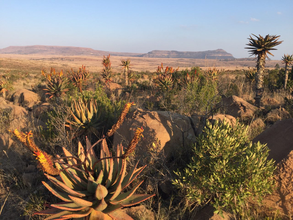 Beautiful aloes in Zululand