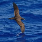 Shearwater, Wedge-tailed - 20081023