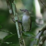 Vireo, Red-eyed - 20161002