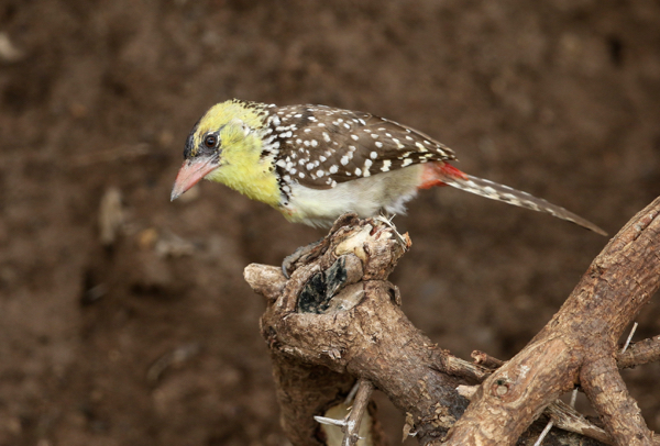Barbet, Yellow-breasted - 20170827b