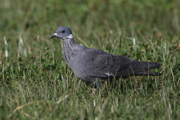 Pigeon, White-collared - 20170825