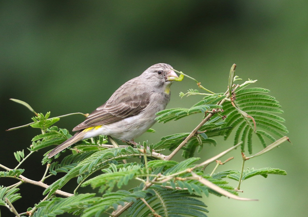 Yellow-throated Seedeater