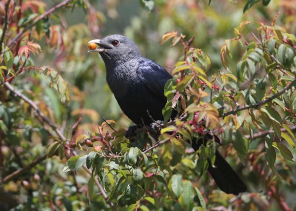 White-billed Starling