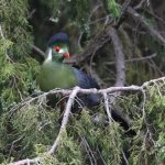 Turaco, White-cheeked - 20170827a