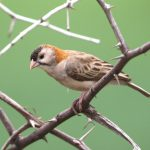 Weaver, Speckle-fronted - 20170826b