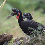 Hornbill, Abyssinian Ground - 20170826