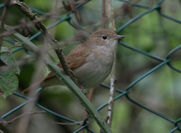 Nightingale, Common - 20180418-2