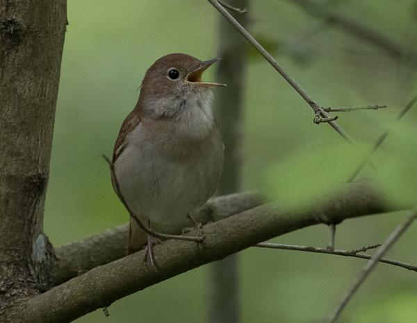 Nightingale, Common - 20180418