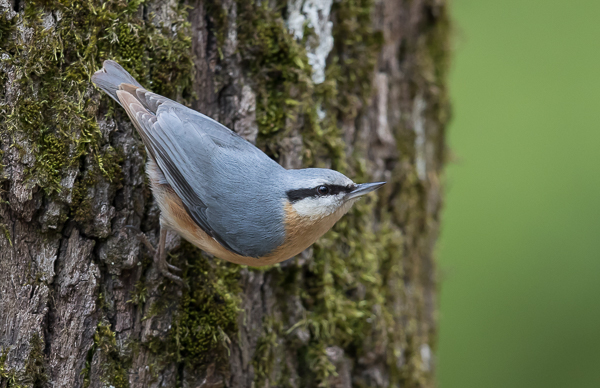 European Nuthatch
