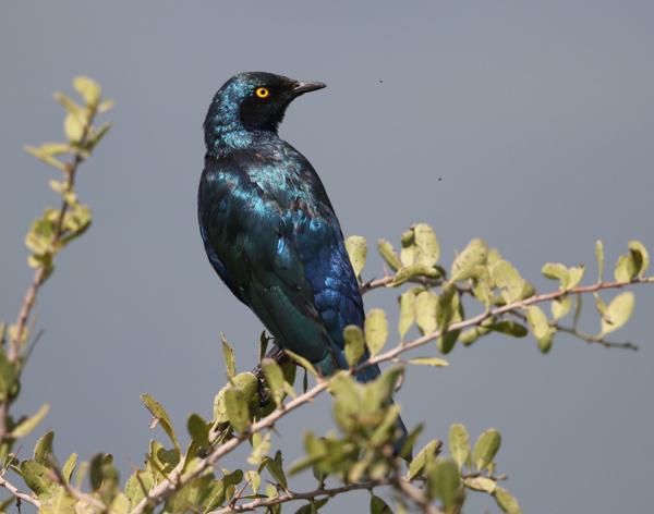 Starling, Lesser Blue-eared - 20170825