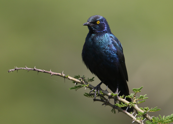 Starling, Lesser Blue-eared - 20170825a