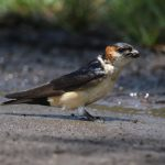 Swallow, Red-rumped - 20170825