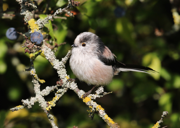 Tit, Long-tailed - 20170901