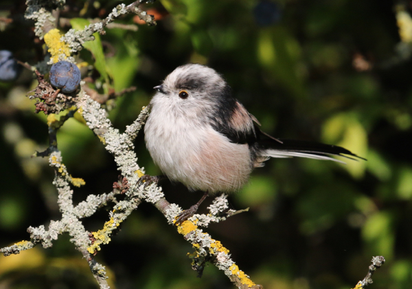Tit, Long-tailed - 20170901a