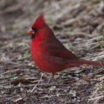 Cardinal, Northern - 20150226
