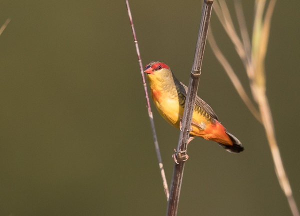 Orange-breasted Waxbill