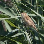 Warbler, Eurasian Reed - 20180818