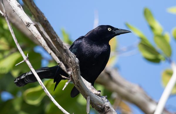 Carib Grackle (male)