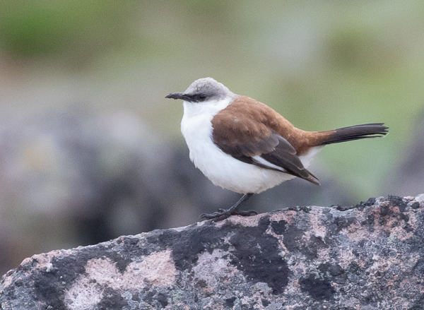 White-bellied Cinclodes (2)