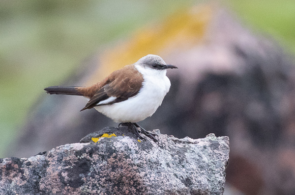 White-bellied Cinclodes (3)