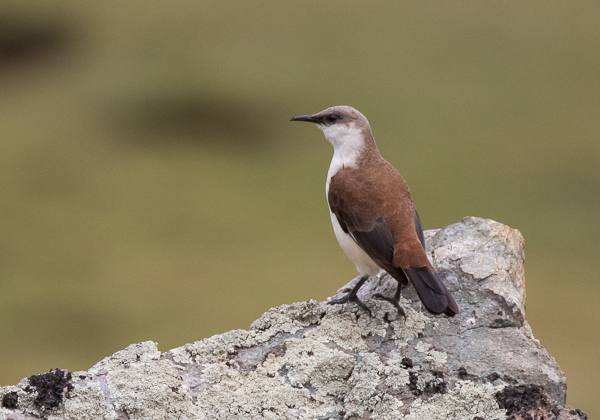 White-bellied Cinclodes (4)