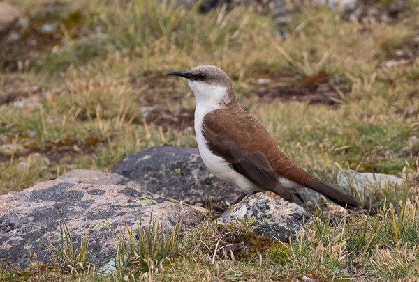 White-bellied Cinclodes (5)