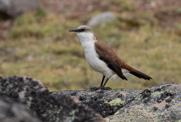 White-bellied Cinclodes (7)